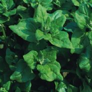 Spinach New Zealand - 80 seeds